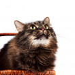 Portrait of a striped fluffy cat in a basket — Stock Photo