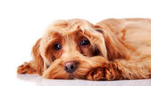 Small sad decorative doggie. — Stock Photo