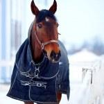 ������, ������: Sports stallion in a body cloth
