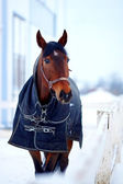 Sports stallion in a body cloth. — Stock Photo