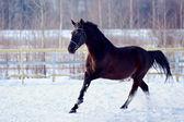 Skipping sports black stallion. — Stock Photo