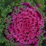Decorative cabbage. — Stock Photo