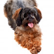 Stock Photo: Small decorative doggie