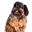 Stock Photo: Small shaggy decorative doggie