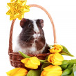 Guinea pig in a basket with a bow and flowers. - Stock Photo