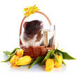 Guinea pig in a basket with a flowers and a champagne glass. — Stock Photo