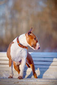 The red bull terrier on a white bench in park. — Stock Photo