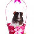 Guinea pig in a pink basket with a bow and flowers. — Stock Photo