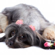 Stock Photo: Decorative thoroughbred doggie and roses.