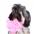 Stock Photo: Portrait of decorative doggie with pink bow
