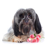 Portrait of a decorative dog with pink roses. — Stock Photo