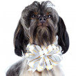 Portrait of a decorative shaggy doggie with a bow. — Stockfoto
