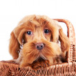 Portrait of a decorative dog in a basket. — Stock Photo