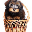 Puppy in basket. — Stock Photo #24929135