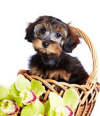 Portrait of a nice puppy in a basket with orchids. — Stock Photo
