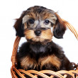 Portrait of a nice puppy in a wattled basket. — Stockfoto