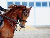 Porträt von einem sport-pferd. — Stockfoto