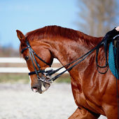 Portrait of a sports red horse. — Stock Photo