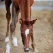 Stock Photo: Foal with asterisk on forehead.
