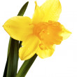 Stock Photo: Yellow narcissus.