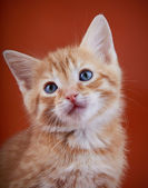 Red kitten with blue eyes on a red background. — Stock Photo