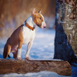 Bull terrier on walk in park. — Stock Photo