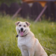 The beige dog sits on a grass in rural areas. — Stock Photo