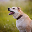 Portrait of a beige not purebred dog. — Stock Photo