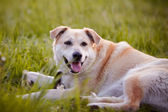 The beige large not purebred dog lies on a grass. — Stock Photo