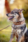 Portrait of a watchdog. — Stock Photo