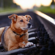 The lost dog lies on rails. — Stock Photo