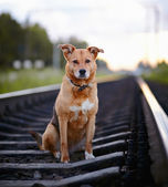The sad dog sits on rails. — Stock Photo
