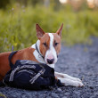 The bull terrier protects a bag. — Stock Photo