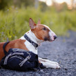 The red bull terrier protects a bag. — Stock Photo
