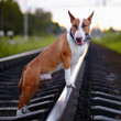 Постер, плакат: Bull terrier on rails