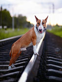Bull terrier on rails. — Stock Photo