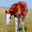 Red with white a foal on a meadow. — Stock Photo