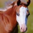 Stock Photo: Portrait of a foal with a white muzzle and blue eyes.