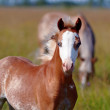 Stock Photo: Portrait of a foal on a pasture.