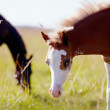 Portrait of a foal with a white muzzle on a meadow. — Stock Photo