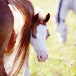 Foal on pasture with other horses. — Stock Photo #29181535