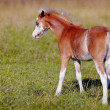 Stock Photo: Red with white a foal on a pasture.