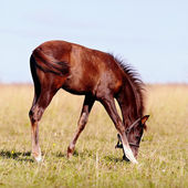 Foal on a pasture. — Stock Photo