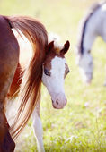 Foal on a pasture with other horses. — Stock Photo