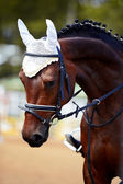 Portrait of a sports horse. — Stock Photo
