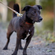 Stockfoto: Small black doggie.