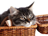 Portrait of a cat in a wattled basket. — Stock Photo