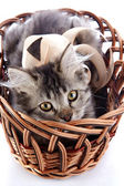 Striped cat with yellow eyes in a wattled basket. — Stock Photo