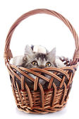 The cat looks out of a wattled basket. — Stock Photo