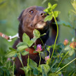 Stock Photo: Black doggie smells clover flower.